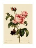 Cabbage Rose Reproduction procédé giclée par  Langlois