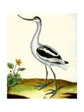 Avocet, Recurvitostra Avosetta Reproduction procédé giclée par Georges-Louis Buffon