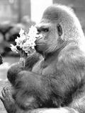 Gorilla with Flowers Foto von  Associated Newspapers