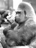 Gorilla with Flowers Fotografía por  Associated Newspapers