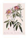 Hudson's Rose Reproduction procédé giclée par  Langlois