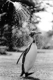 King Penguin Takes a Shower Foto von  Associated Newspapers