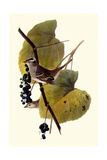White-Crowned Sparrows Impressão giclée por John James Audubon