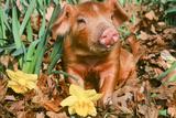 Schwein Fotografie-Druck
