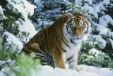 Tiger Fotografie-Druck