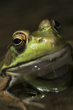 Frog Fotografisk tryk af Lynn M. Stone