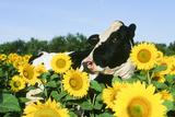 Holstein Cow Fotografie-Druck
