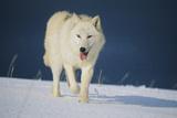 Wolf Fotografie-Druck