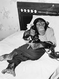 Chimpanzee Sitting in Bed on the Telephone and Smoking a Cigar Foto