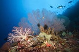 Very Varied Coral Reef, Russell Islands, the Solomon Islands Reproduction photographique par Reinhard Dirscherl