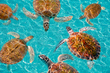 Riviera Maya Turtles Photomount on Caribbean Turquoise Waters of Mayan Mexico Photographic Print by  holbox