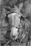 Mule in Hale County, Alabama, c.1936 Lámina fotográfica por Walker Evans