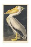 American White Pelican, 1836 Giclée-vedos tekijänä John James Audubon