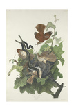 Ferruginous Thrush, 1831 Giclée-tryk af John James Audubon