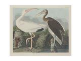 White Ibis, 1834 Giclée-tryk af John James Audubon