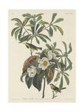 Bachman's Warbler, 1834 Giclée-tryk af John James Audubon
