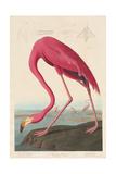 American Flamingo, 1838 Giclée-tryk af John James Audubon