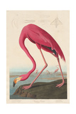 American Flamingo, 1838 Giclée-Druck von John James Audubon