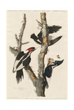 Ivory-billed Woodpecker, 1829 Giclée-tryk af John James Audubon