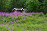 Sweden, Sweden Small House Between Pink Blooming Fireweed Midsummer Night Flowers Photographic Print by K. Schlierbach