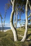 Beech Trunks on the Western Beach of Darss Peninsula Photographic Print by Uwe Steffens