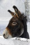 Portrait of a Donkey on Snow-Covered Belt Fotografie-Druck von Harald Lange