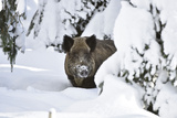 Wild Boar in Winter Fotografie-Druck von Reiner Bernhardt