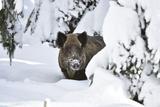 Wild Boar in Winter Lámina fotográfica por Reiner Bernhardt