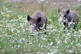 Meadow, Wild Boars, Making a Mess Fotografie-Druck von Reiner Bernhardt