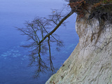 Germany, Ruegen Jasmund National Park, Toppled Beech on the Steep Bank Hanging over the Baltic Sea Photographic Print by K. Schlierbach