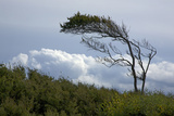 Windswept Trees, European Beech Bent from the Steady West Wind Photographic Print by Uwe Steffens