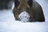 Snow, Wild Boar Fotografie-Druck von Reiner Bernhardt