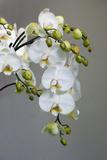 White orchid blooms Impressão fotográfica premium por Anna Miller