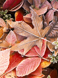 Autumn leaves on the ground, covered in frost. Fotografie-Druck von Stuart Westmorland
