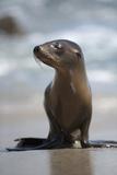 USA, California, La Jolla. Baby sea lion on beach. Lámina fotográfica prémium por Jaynes Gallery