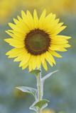 USA, California, Napa Valley of sunflower. Premium-Fotodruck von Jaynes Gallery