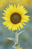 USA, California, Napa Valley of sunflower. Stampa fotografica Premium di Jaynes Gallery