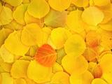 USA, California, Sierra Nevada Mountains. Fallen aspen leaves Fotoprint van Jaynes Gallery