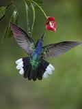 Caribbean, Costa Rica. Violet sabrewing hummingbird feeding. Fotoprint van Jaynes Gallery