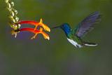 Costa Rica. White-necked Jacobin hummingbird. Premium fotografisk trykk av Jaynes Gallery