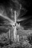 USA, Arizona, Tucson, Saguaro National Park Premium Photographic Print by Peter Hawkins