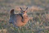 Greater Prairie-Chicken male displaying, lek Prairie Ridge State Natural Area, Illinois Premium Photographic Print by John & Lisa Merrill