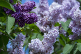 New York. Lilac flowers in bloom. Premium Photographic Print by Cindy Miller Hopkins