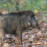 India. Indian boar, Sus scrofa cristatus, at Kanha Tiger reserve. Fotografie-Druck von Ralph H. Bendjebar