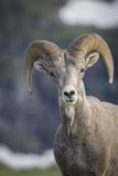 Bighorn sheep, Glacier National Park, Montana, USA Lámina fotográfica prémium por Yitzi Kessock