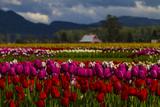Mount Vernon, Washington State, Field of colored tulips with a bard Premium fotografisk trykk av Jolly Sienda