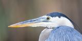 USA, Wyoming, Pinedale, Great Blue Heron portrait taken on a wetland pond. Reproduction photographique par Elizabeth Boehm