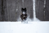 USA, Minnesota, Sandstone. Black wolf running through the snow Premium fotoprint van Hollice Looney