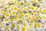 Istanbul, Turkey. Close-up of Chamomile flowers. Premium-valokuvavedos tekijänä Julien McRoberts