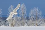 Canada, Ontario. Female snowy owl in flight. Premium fotoprint van Jaynes Gallery
